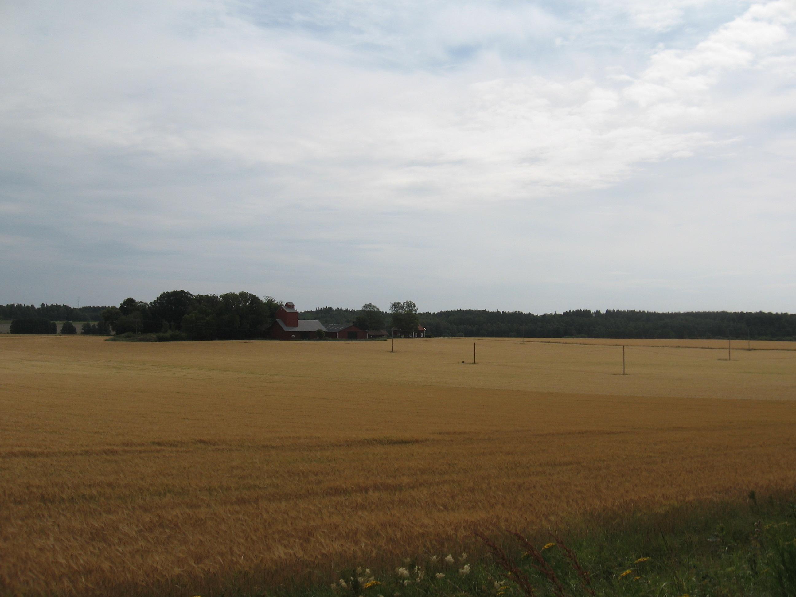 Kviešu lauki
