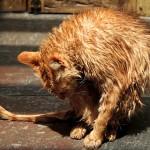 Kāpēc kaķi baidās no ūdens?